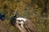 stock photo of peahen  - a female peacock aka a Peahen sits on a tree branch with a male peacock - JPG