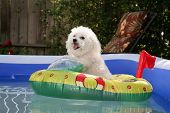 fifi the world famous Bichon Frise enjoys a Hot Summer Afternoon in her float toy boat in her person
