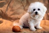 stock photo of bichon frise dog  - Fifi the Bichon Frise enjoys fresh baked bread - JPG