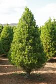 a Christmas Tree farm in southern california