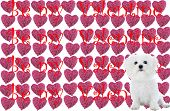 a purebred bichon frise, sits infront of a pattern of heart shaped pink roses with