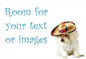 Fifi a beautiful Bichon Frise celebrates Cinco de Mayo isolated on white with room for your text or
