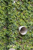 A Close Up View Of Green Leafy Vines Growing On The Side Of A Wall With The Plastic Water Pipe Stick poster