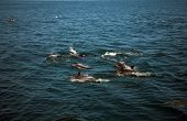 picture of cetacea  - A Large POD of California common dolphin  - JPG