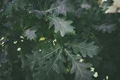 Oak Tree. Oak Leaves. Natural Background. Green Leaf. poster