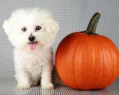 Fifi the Purebred Bichon Frise smiles as she poses with her pumpkin for halloween and autumn againts poster