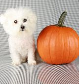 Fifi the Purebred Bichon Frise smiles as she poses with her pumpkin for halloween and autumn againts a black and white background