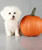 Fifi the Purebred Bichon Frise smiles as she models some of her favorite outfits to see what she wan