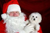 Fifi the Bichon Frise has her picture taken with Santa Claus against red crushed velvet