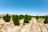 a christmas tree farm in southern california. growing beautiful green pine trees for your holiday ch