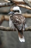 Kookaburra (Dacelo novaeguineae), one of the most famous Australian birds