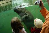 Árbol meses hipopótamo (Hippopotamus amphibius) en el Zoo de Berlín, Alemania