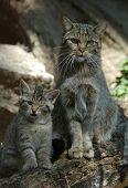 Europeu gato selvagem (Felis silvestris silvestris) com um gatinho