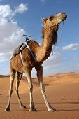 Arabian camel or Dromedary (Camelus dromedarius) also called a one-humped camel in the Sahara Desert