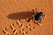 Black beetle running through the Sahara Desert, Morocco