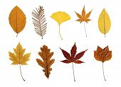 Collection of leaves isolated on white: beech, dawn redwood, ginkgo, Japanese maple, hornbeam, silve