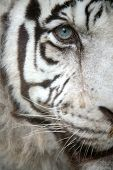 White tiger (Panthera tigris tigris) eye