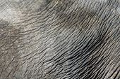 Asian elephant (Elephas maximus) skin texture