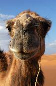 Arabian camel or Dromedary (Camelus dromedarius) in the Sahara Desert, Morocco.