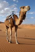 stock photo of hump day  - Arabian camel or Dromedary  - JPG
