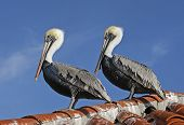 Pelicans On The Roof