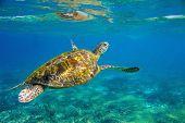 Sea Turtle Underwater Photo. Marine Green Sea Turtle Closeup. Wildlife Of Tropical Coral Reef. Sea T poster