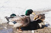 Home Drake And Ducks On Spring Ice poster