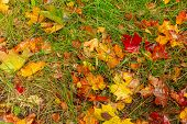 The Leaves Of The Maple Lie Bright And Colorful On The Grass. Wet Fallen Leaves. Golden Autumn, Rain poster