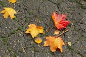 The Leaves Of The Maple Lie Bright And Colorful On The Wet Asphalt. Wet Fallen Leaves. Golden Autumn poster