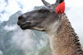 Close up of llama at the ruin of Machu Picchu.