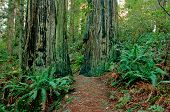 Redwood Forest Trail