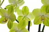 Beautiful yellow orchid (Phalaenopsis) isolated on white background