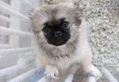 Shitzu Puppy In Pen