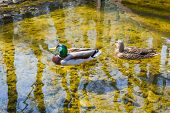 Couple Of Duck And Drake Are Swimming In The River In Spring. Mallards In The Pond. poster