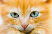Fluffy red kitten with blue eyes closeup portrait poster