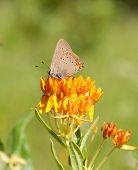 Coral Hairstreak Butterfly feeding on Butterfly Weed