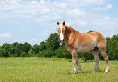 Beautiful Belgian Draft Horse looking at the photographer