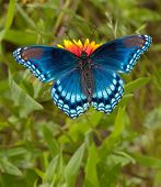 Red Spotted Purple Admiral Butterfly feeding on Indian Blanket flower