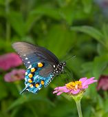 Green Swallowtail Butterfly on simple pink Zinnia