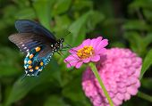 Green Swallowtail on a bright pink Zinnia