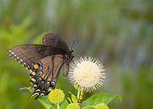 Black morph of an Eastern Tiger Swallowtail butterfly feeding on buttonbush flower