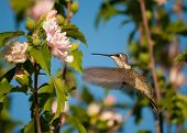 Female Ruby-throated hummingbird getting ready to feed on an Althea flower