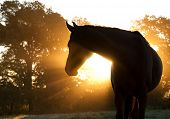 picture of horse head  - Beautiful Arabian horse silhouette against morning sun shining through haze and trees - JPG