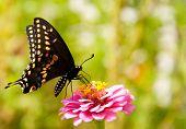 ventralen Blick auf einen östlichen schwarz Schwalbenschwanz Fütterung auf eine Zinnie Blume grün hintergrund