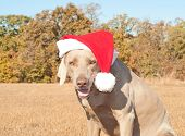 Humorous image of Santa's little canine helper - a Weimaraner dog dressed in a bright red santa hat poster
