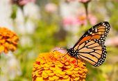 Beautiful Danaus plexippus, Monarch butterfly, feeding on an orange flower