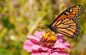Migrating Monarch butterfly refueling on a Zinnia flower