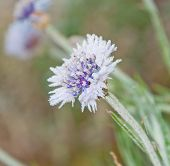Tiny, delicate purple and blue Bachelor Button flower covered in frost on a cold fall morning