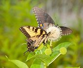 Yellow Eastern Tiger Swallowtail butterfly feeding on a buttonbush flower with an all black version