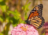 Danaus plexippus, migrating Monarch butterfly feeding on a flower